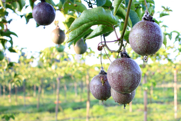fresh passion fruit in the garden background